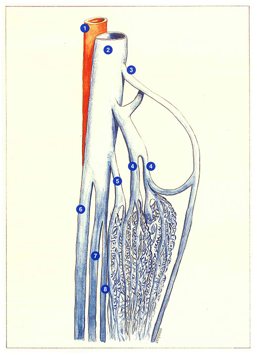 Anatomical Aspects Phlebologia