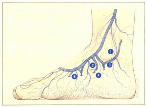 Figure 107. Perforating veins of the medial surface of the foot.