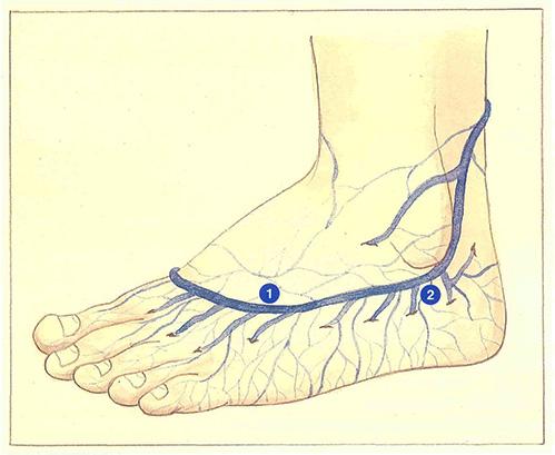 Il est combien daux veines chez la personne sur les pieds