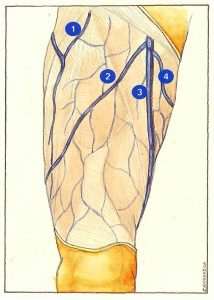 Figure 67. Proximal tributaries of the long saphenous trunk.